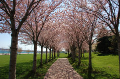 Spring Trees. Row of trees with blossoms in the spring and path in park with lake background stock photo