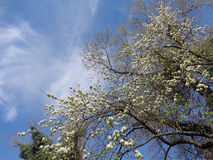 Spring trees against amazing sky. Blossoming tree with first green leaves in city park Stock Images