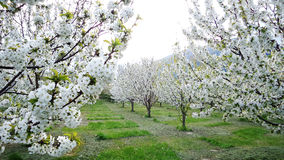 Spring trees in bloom Stock Photography