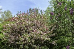 Pink Crabapple tree in bloom and purple lilac. Spring trees blooming against blue sky. Rochester, New York in the springtime royalty free stock photos
