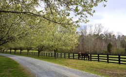 Spring Trees Blooming Beside Driveway and Horses. Bradford Pear Trees in full spring bloom beside a driveway in the country and horses in the pasture royalty free stock photos