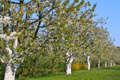 Spring trees in blossom, Bavaria, Germany Royalty Free Stock Photo