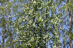 Spring trees in blossom. Beautiful spring birch trees with lavish blossoming flowers on a sunny day royalty free stock photos