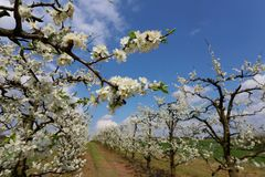 Orchard of fruit trees in spring, Poland royalty free stock image