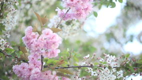 Spring trees in full bloom stock video footage