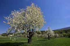 Spring trees landscape. Spring trees, green grass, countryside landscape, blossom tree orchard Stock Photo