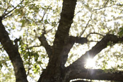 Spring through the trees. Looking up through the blooming Apricot Tree, blurred leaves and sun shinning Stock Image