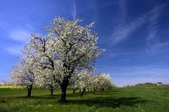 Spring trees orchard landscape. Spring trees, green grass, countryside landscape, blossom tree orchard Stock Images