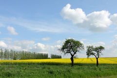 Spring with trees and rape field. Spring image with trees and rape field, poplar trees in background Royalty Free Stock Photography