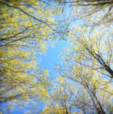 Spring Treetops Royalty Free Stock Photography