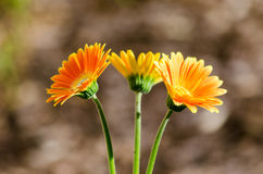 Spring Trio. A beautiful trifecta of orange daisies on a spring day Royalty Free Stock Photo