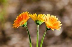 Spring Trio Royalty Free Stock Photo