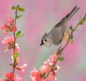 Spring Tufted Titmouse (Baeolophus bicolor) Stock Photos