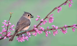 Spring Tufted Titmouse (Baeolophus bicolor) Stock Photo