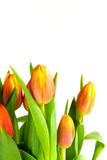 Spring tulip Royalty Free Stock Image