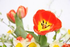 Spring tulip Royalty Free Stock Images