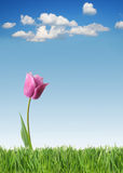 Spring tulip. Purple tulip on green grass and blue sky background stock photography