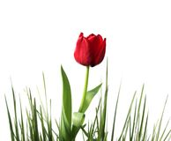 Spring-tulip. Red tulip in grass, on white Royalty Free Stock Photos