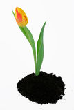Spring tulip. A tulip grows from a mound of soil royalty free stock photos