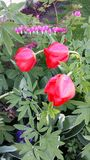 Spring tulip. Tulip, bleeding heart and hiacynt stock photography