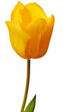 Spring Tulip in bright yellow Stock Image