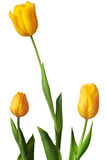 Spring Tulip in bright yellow Stock Images