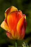 Spring tulip bud Royalty Free Stock Photography