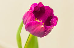 Spring tulip bud Stock Images
