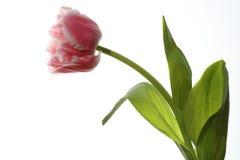 Spring Tulip closeup Royalty Free Stock Photo