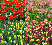 Spring tulip collection. The red tulip community in Spring Stock Photos