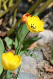 Spring tulip Royalty Free Stock Photos