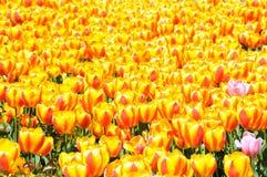 Spring tulip field Royalty Free Stock Photo