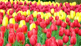 Tulip field in Netherlands. Spring tulip field in garden, Lisse, Amsterdam, Netherlands stock video