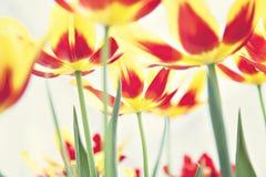 Spring tulip field Stock Image