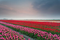 Spring tulip field at sunset. Netherlands Royalty Free Stock Photography