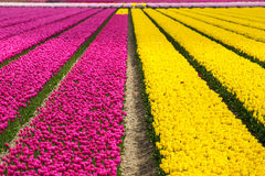 Spring tulip fields in Holland, flowers in Netherlands Stock Photography