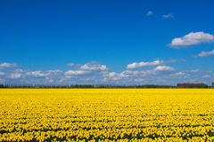 Spring tulip fields in Holland, flowers in Netherlands Royalty Free Stock Photo