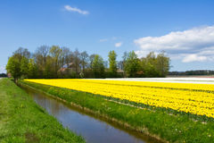 Spring tulip fields in Holland, flowers in Netherlands Royalty Free Stock Photography