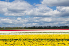 Spring tulip fields in Holland, flowers in Netherlands Royalty Free Stock Photos