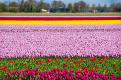 Spring tulip fields in Holland, flowers in Netherlands Royalty Free Stock Image