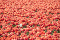Spring tulip fields in Holland, Netherlands Stock Images