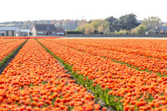 Spring tulip fields in Holland, Netherlands Stock Photo