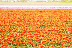 Spring tulip fields in Holland, Netherlands Royalty Free Stock Photos