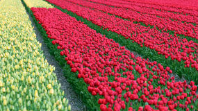 Spring Tulip Fields in Holland Stock Images