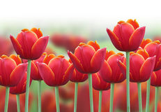 Spring Tulip Flower Background. A bright red tulip flower background with a fade to white on the top for text. Use it for a spring or love concept royalty free stock photo