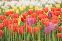 Spring Tulip Flower Background. Multi Colored Spring Tulip Flower Background Royalty Free Stock Image