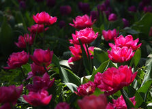 Spring Tulip Flower Background. Pink tulips on a dark background Royalty Free Stock Photos