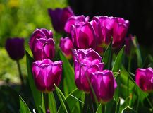 Spring Tulip Flower Background. Purple tulips backlit against a dark background Royalty Free Stock Photo