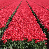 Spring tulip flower field red tulips flowers blooming Royalty Free Stock Photos