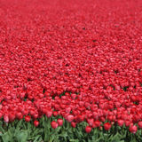 Spring tulip flower field red tulips flowers in Netherlands Royalty Free Stock Photos
